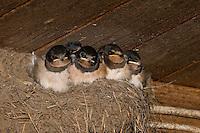 Rauchschwalbe, Rauch-Schwalbe, Rauch - Schwalbe, Küken im Lehmnest, Nest an einem Holzbalken in einem Stall, Hirundo rustica, Swallow, barn swallow, Hirondelle rustique