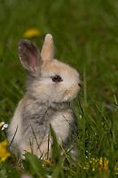 Zwerg-Kaninchen, Zwergkaninchen, auf Frühlingswiese, dwarf rabbit