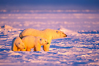 polar bear, Ursus maritimus, mother & cubs, Arctic National Wildlife Refuge, Alaska North Slope, Alaska, USA