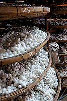 Trays of silkworm cocoons waiting to be processed into silk thread. Da Lat, Vietnam