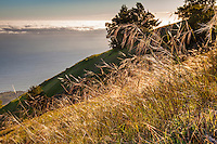 Stipa pulchra, Purple Needle Grass, State grass of California backlit at sunset overlooking Pacific Ocean - Mount Tamalpias State Park California