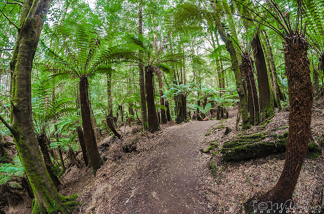 A fisheye view of the ferns on the Tall Trees Walk in the Mt Field National Park in Tasmania, Australia