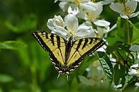 Western Tiger Swallowtail (Papilio rutulus) nectaring on mock-orange.  Pacific Northwest.
