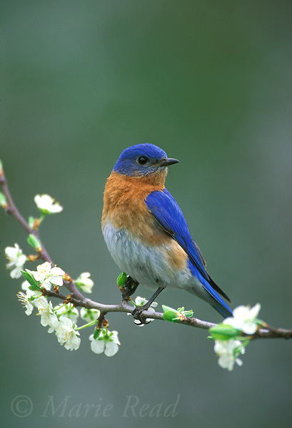 Eastern Bluebird (Sialia sialis) male perched amid spring blossoms, New York, USA<br /> Slide # B136-81