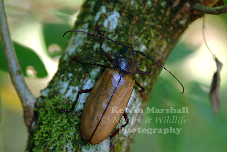 A close up view of a Longicorn Beetle (Agrianome spinicollis)