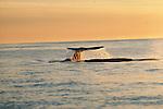 A gray whale sounding in Monterey Bay, California.
