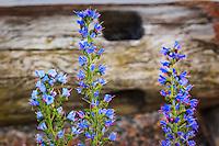 Blå blommor i Stockholms skärgård