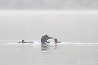 A common loon feeds one of its chicks in the morning mist.