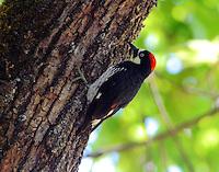 Acorn woodpecker adult