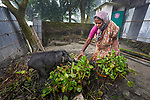 Sornolota Kisku feeds her pigs in Suihari in northern Bangladesh. Devastating floods in August 2017 affected thousands of families across the region, and Christian Aid and the Christian Commission for Development Bangladesh, both members of the ACT Alliance, worked together to provide emergency food packages to vulnerable families, including Kisku.