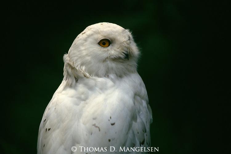 Portrait of a Snowy Owl.