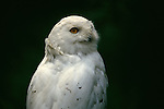 Portrait of a Snowy Owl.
