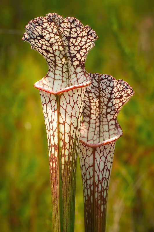The beautiful and intricate design of red veins in the white-topped pitcher plant.