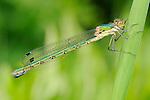 Green Emerald Damselfly (Lestes viridis)