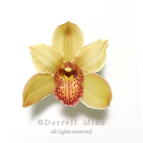 yellow and orange cymbidium orchid on white background with drop shadow.<br /> <br /> &copy; Darrell Miho