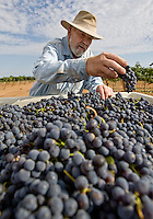 "erath  160436 8/30/09- Dick Erath (CQ) inspects grapes at his Cimarron Vineyeard (CQ) near Wilcox. When Dick Erath sold his namesake Oregon winery, he thought he was going to retire quietly to the desert in southern Arizona. After all, starting Oregon's wine industry should have been enough for one man. But he couldn't help himself. He planted a few vines in his backyard for fun. ""I had to do something besides play golf,"" he said. Then he started studying the terrain and soil around southeast Arizona and became convinced his new home provided one of the best climates for grape growing on the planet.. (Pat Shannahan/ The Arizona Republic)"