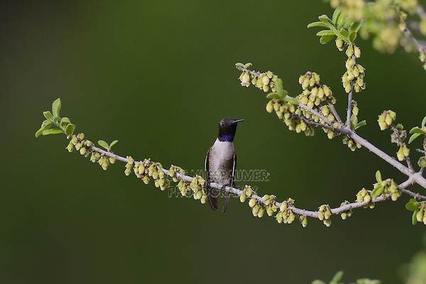 Black-chinned Hummingbird (Archilochus alexandri), adult male perched on blooming Texas persimmon (Diospyros texana), Hill Country, Texas, USA