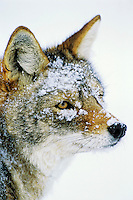 Coyote (Canis latrans) in deep snow.  Western U.S., winter.