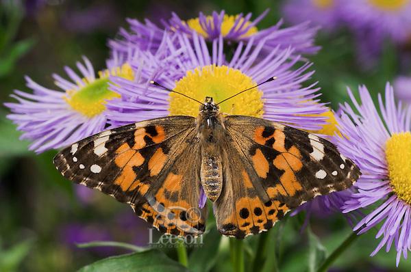 American Painted Lady Butterfly (Cynthia virginiensis) on fleabane flowers (Erigeron speciosus 'Azure Fairy') in backyard garden.  Summer. Nova Scotia, Canada.