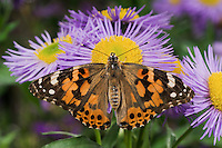American Painted Lady Butterfly (Cynthia virginiensis) on fleabane flowers (Erigeron speciosus 'Azure Fairy') in backyard garden.  Summer. Nova Scotia, Canada.