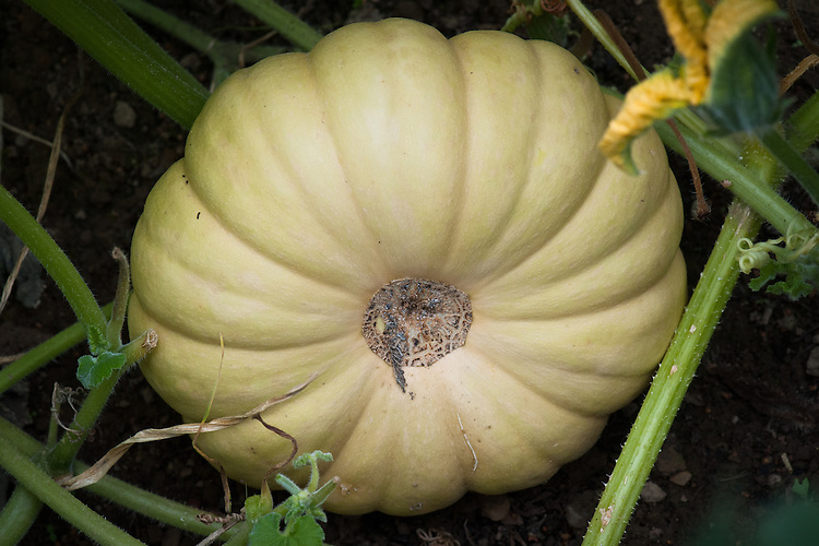 Squash 'Autumn Crown', mid October. A cross between 'Crown Prince' and a butternut squash, with the early ripening of the former and the colour and flavour of the latter.