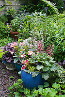 Container gardens pots, Festuca blue grass, blue pots, Alyssum Lobularia, purple Heuchera Berry Timeless in bloom, purple foliage Heuchera Grape Expectations, yellow Sedum, Coleus, Begonia in flower, basil herb in pot, herb Lemon grass Cymbopogon citratus