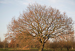 Leafless deciduous tree with last brown leaves in winter, Suffolk, England