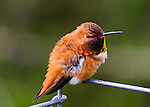 A male Rufous Hummingbird is showing off its mating colors during Spring looking right