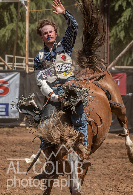 Bareback rider Kash Wilson from Gooding, Idaho scores 76.5 at the 62nd annual Mother Lode Round-up on Sunday, May 12, 2019 in Sonora, California.  Photo by Al Golub