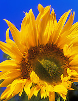 Sunflower and blue sky. Near Alpine, Oregon