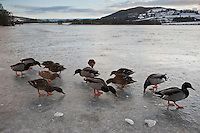 Ducks on frozen Llangorse lake in winter, Brecon Beacons national park, Wales