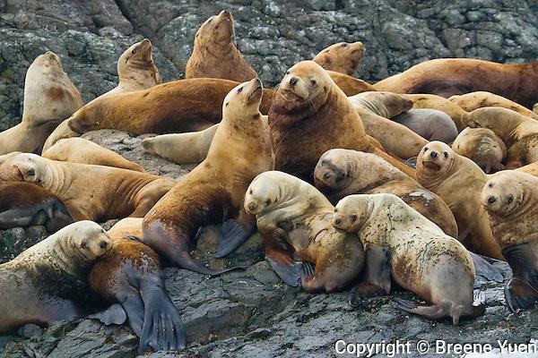British Columbia Sea Lion Colony
