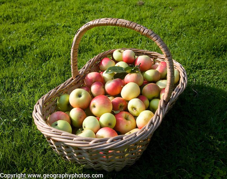 Wicker basket full of fresh apples, England, UK