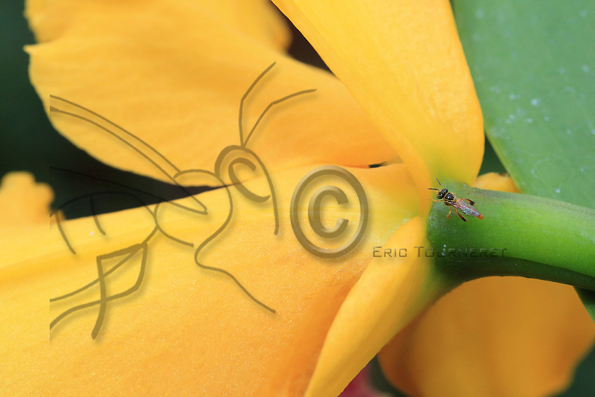 25/ Tetragonisca angustula bee///Tetragonisca angustula