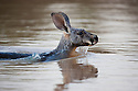 Australia,  NSW, Sturt National Park; red kangaroo female swimming across water hole (Macropus rufus); the red kangaroo population increased dramatically after the recent rains in the previous 3 years following 8 years of drought
