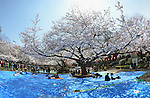 April 6, 2012, Tokyo, Japan - Early comers spread vinyl sheets, taking up best spots under cherry blossoms at Tokyos Ueno Park on Friday, April 6, 2012. It's springtime in Tokyo and time to stop and appreciate fragile pale pink blossoms in full bloom all over the nation's capital. Last year, Japan's most popular national passtime was somewhat muted due to the March 11 earthquake and tsunami. But this year, the centuries-old tradition has come back with revelers eager to use the occasion as a way to break from a year marked by the crisis and disaster. (Photo by Natsuki Sakai/AFLO) AYF -mis-