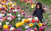 De Pluktuin in Lisse. Toeristen kunnen hier tegen betaling zelf tulpen plukken. Meisje heeft een tulp in haar handen
