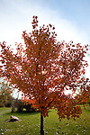Young fall colored Maple tree provides dappled shade from the sun on a cool Iowa morning.
