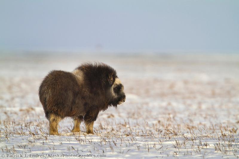 Muskox on the winter tundra in Alaska's Arctic North Slope
