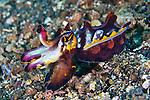 Metasepia pferreri, Flamboyant cuttlefish, Lembeh, Indonesia