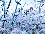 Frozen, covered with ice branches of plants and shrubs with pink berries. Artistic abstract nature scenery.