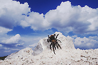 Texas Brown Tarantula (Aphonopelma hentzi), adult on rock, Rio Grande Valley, Texas, USA