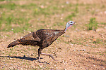 Hen turkey walking  on a gravel-covered trail.