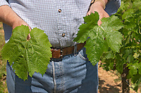 Jean-Francois Quenin, owner and wine maker, showing a Malbec leaf and a Merlot leaf. The Malbec is also called Pressac, like the chateau, and has a rounder shape; the Merlot has more pronounced separate lobes  Chateau de Pressac St Etienne de Lisse  Saint Emilion  Bordeaux Gironde Aquitaine France