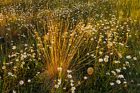 Grasses and daisies at sunset. Redstreak campground, Kootenay National Park, British Columbia, Canada