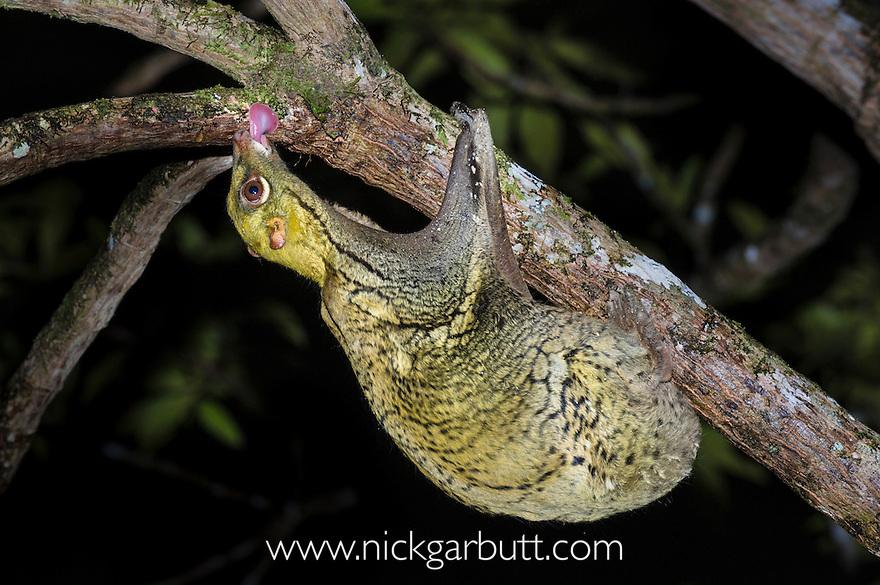 Sunda Colugo  or Sunda Flying Lemur (Cynocephalus [Galeopterus] variegatus) feeding on algae on tree bark. Danum Valley, Sabah, Borneo.