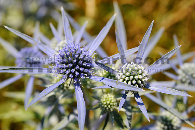 Eryngium amethystinum, Stahlblaue Mannstreu, Amethyst Sea Holly. Krk Island, Dalmatia, Croatia. Insel Krk, Dalmatien, Kroatien. Krk is a Croatian island in the northern Adriatic Sea, located near Rijeka in the Bay of Kvarner and part of the Primorje-Gorski Kotar county. Krk ist mit 405,22 qkm nach Cres die zweitgroesste Insel in der Adria. Sie gehoert zu Kroatien und liegt in der Kvarner-Bucht suedoestlich von Rijeka.