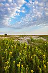Blue Mound State Park, Minnesota: Field of goldenrod (Solidago speciosa) under summer sky