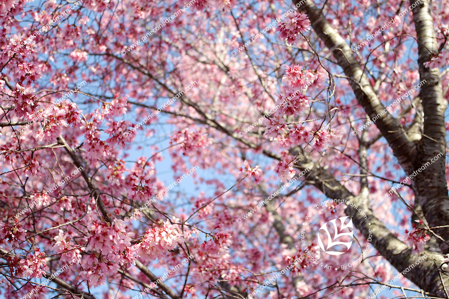Stock photo - Canopy of pink cherry blossom flowers and branches against blue sky as seen from below. Spring in Georgia, USA.