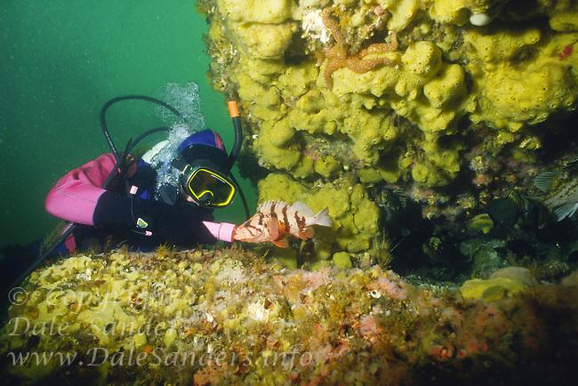 Scuba Diver observing a curious Tiger Rockfish ( Sebastes nigrocinctus) off Quadra Island,  British Columbia, Canada.